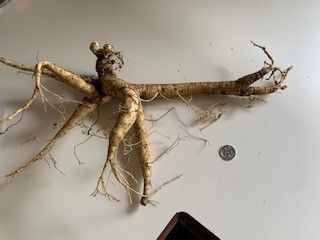 20 year old Ginseng root 188g against a 5 cent piece